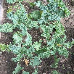 Anna's Garden Kale Crop